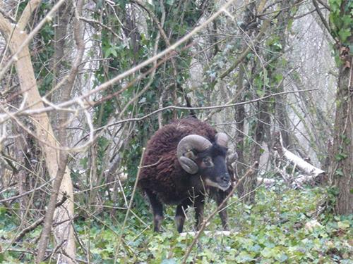 mouton d'ecosse